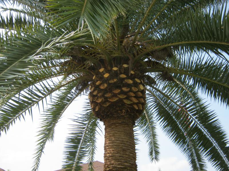 Proper Pruning of a Canary Island Date Palm.