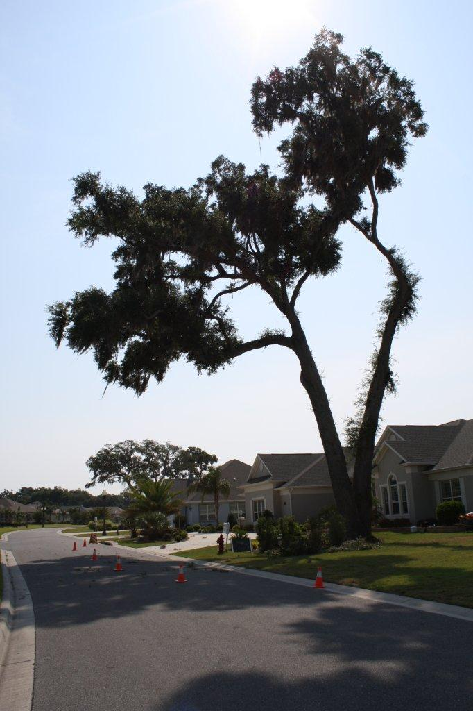 This 100+ year old Live Oak was removed due to improper pruning.